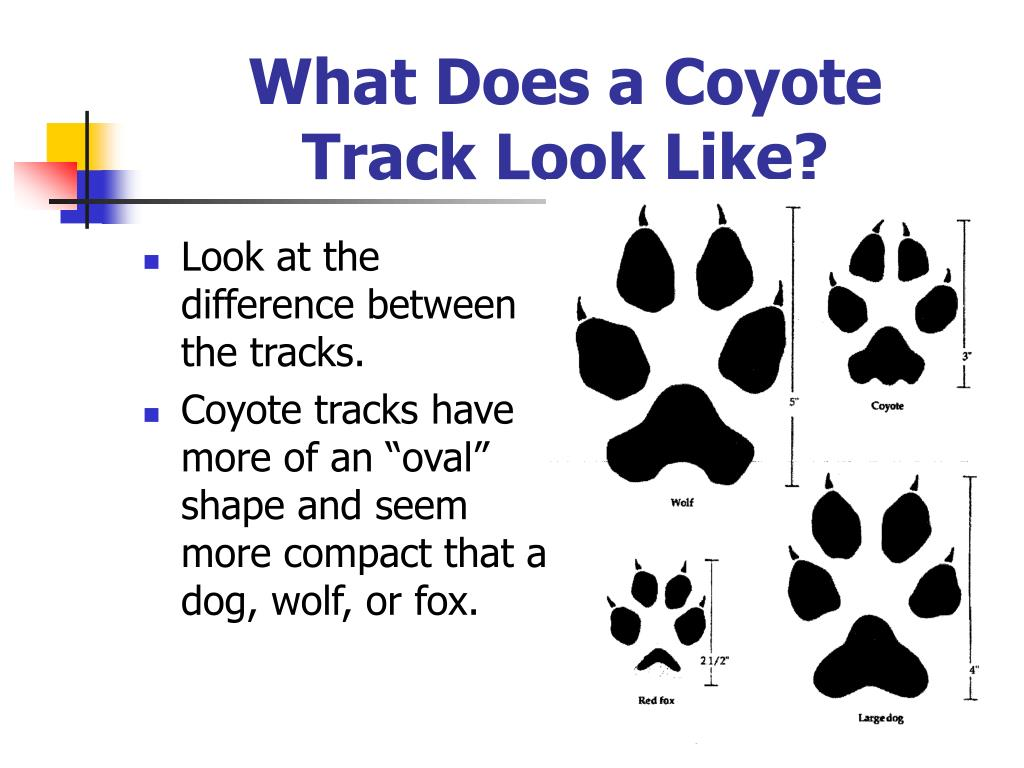 What Does a Coyote