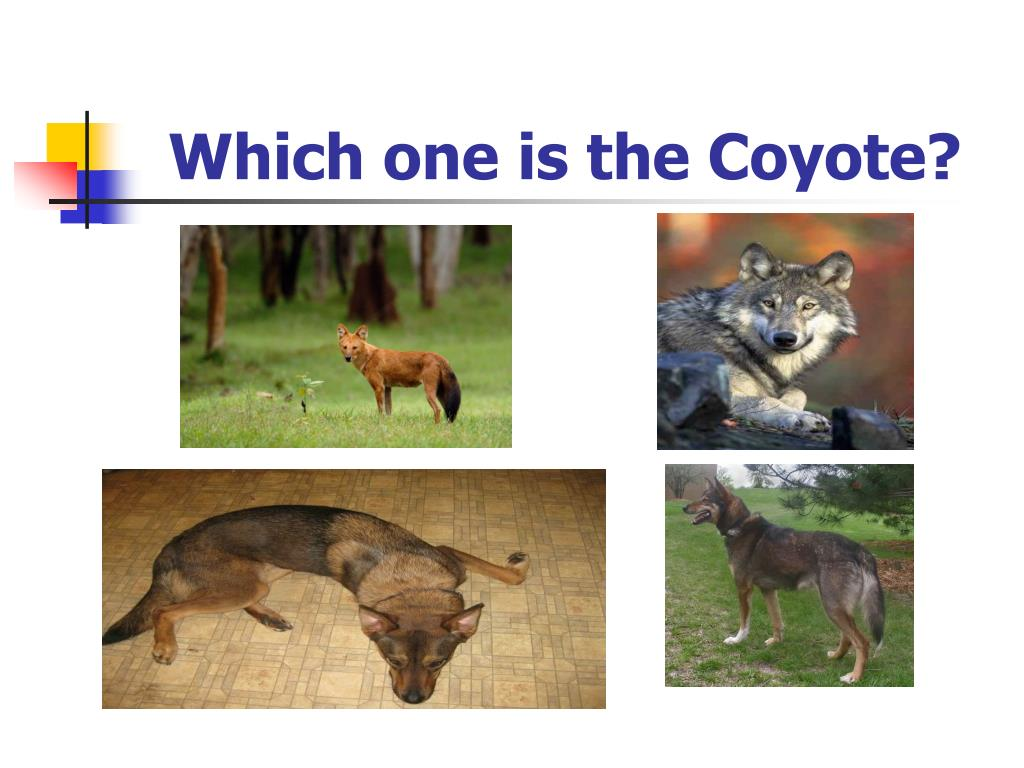 Which one is the Coyote?