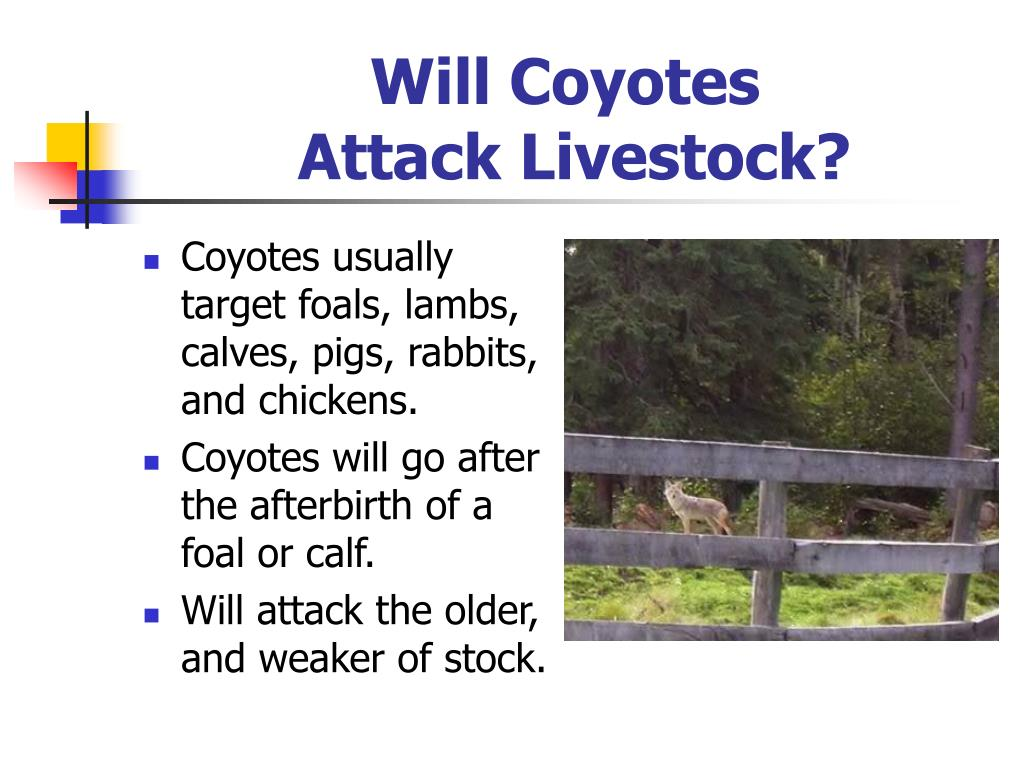 Will Coyotes