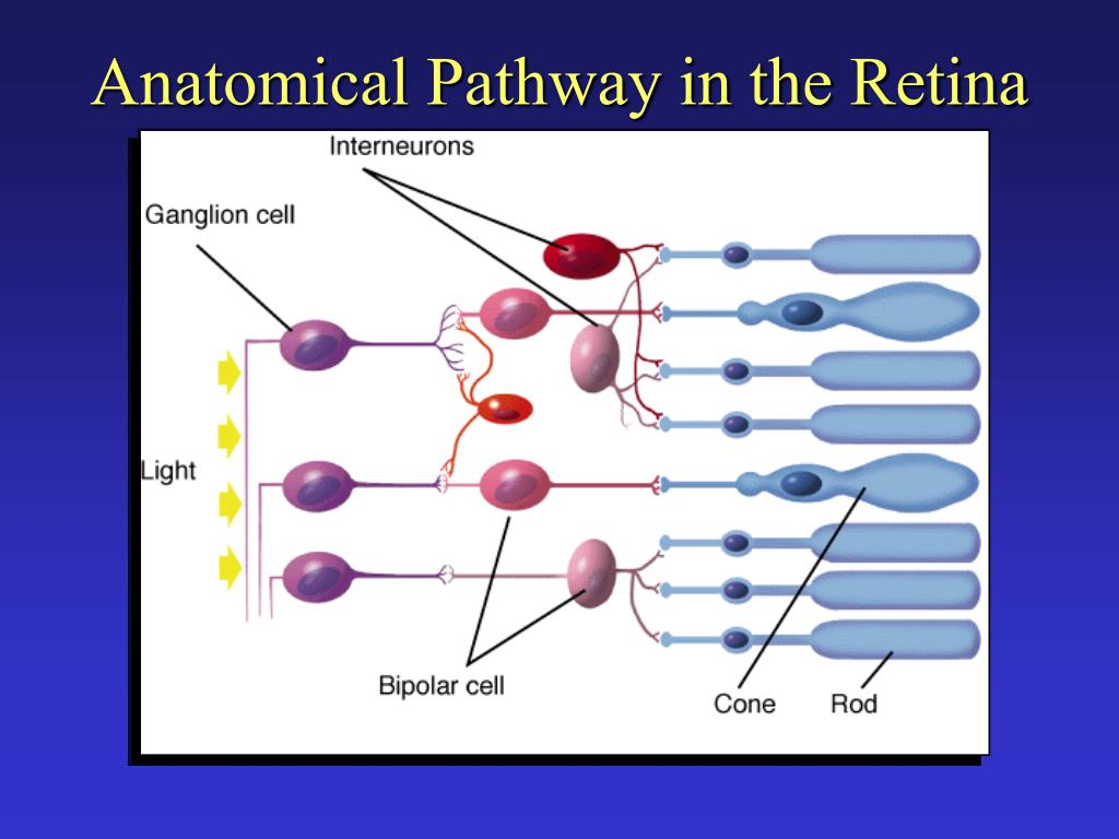 Anatomical Pathway in the Retina
