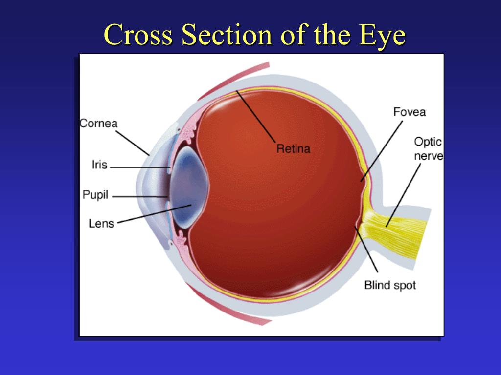 Cross Section of the Eye