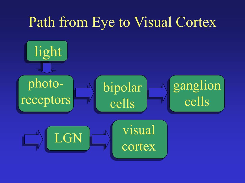 Path from Eye to Visual Cortex