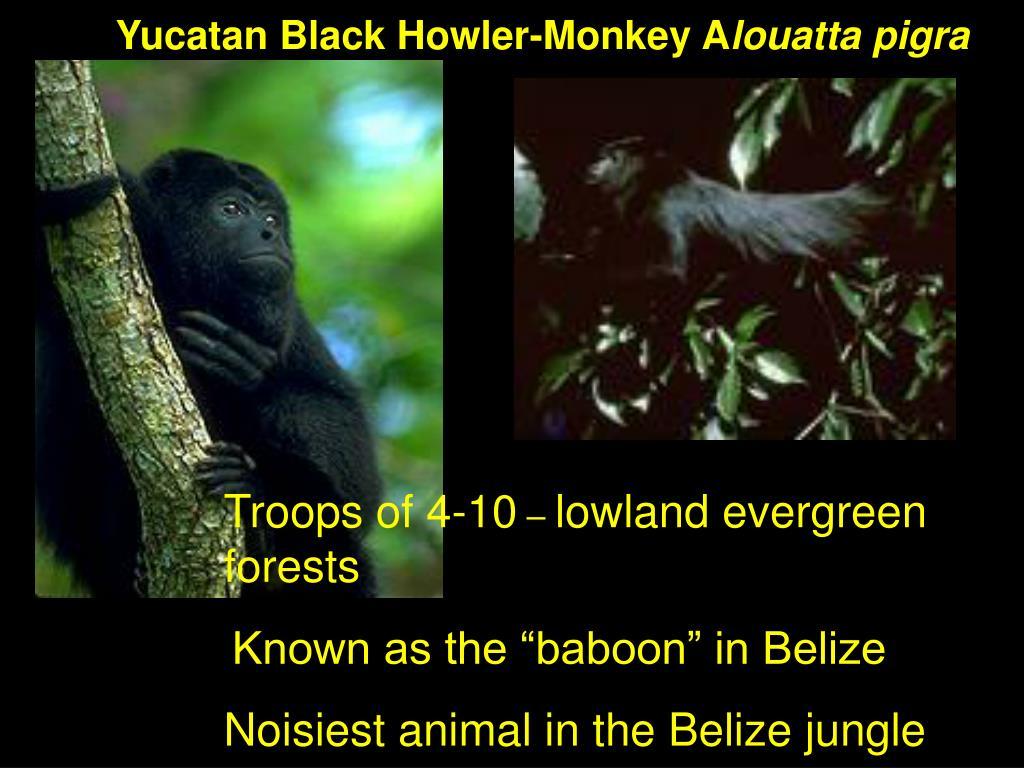 Yucatan Black Howler-Monkey A
