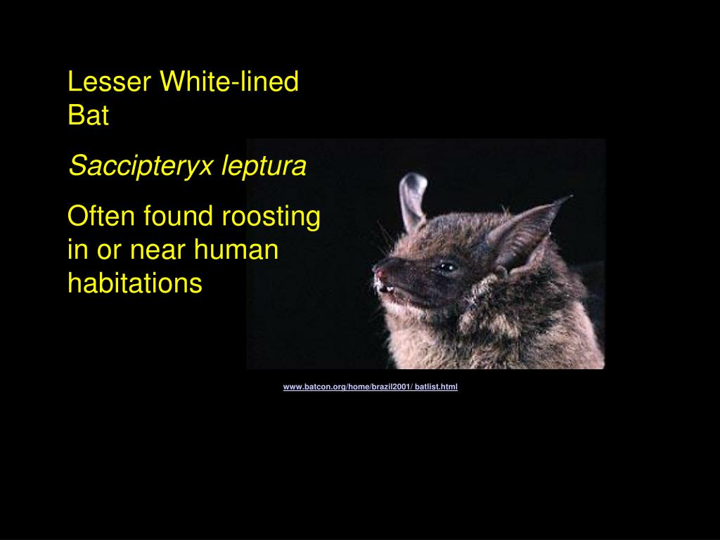 Lesser White-lined Bat