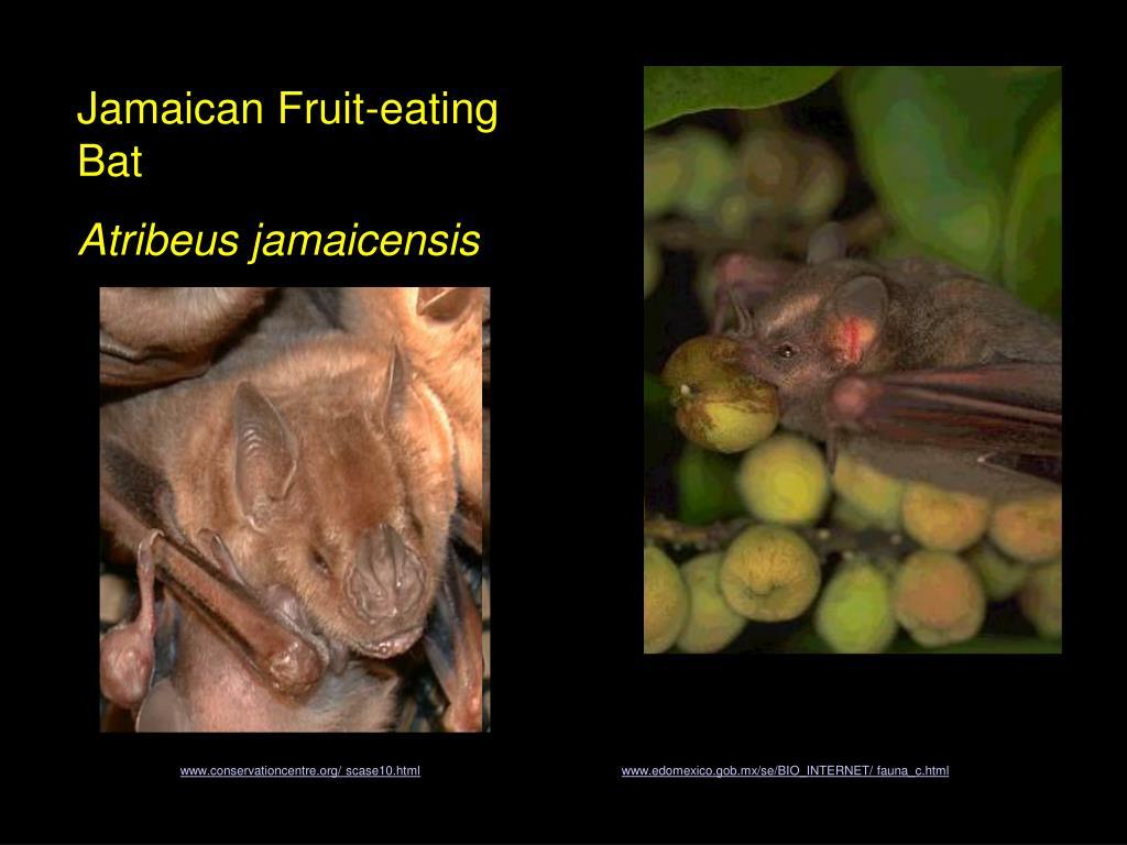 Jamaican Fruit-eating Bat