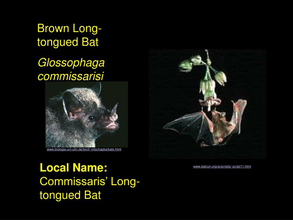 Brown Long-tongued Bat