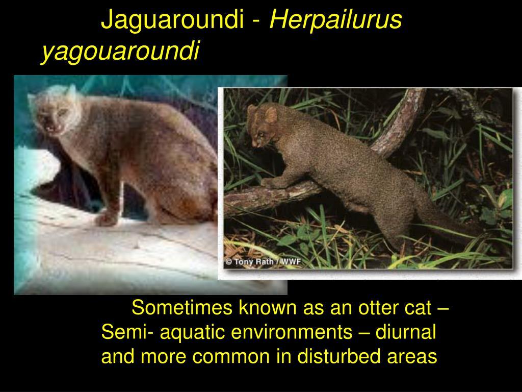 Jaguaroundi -