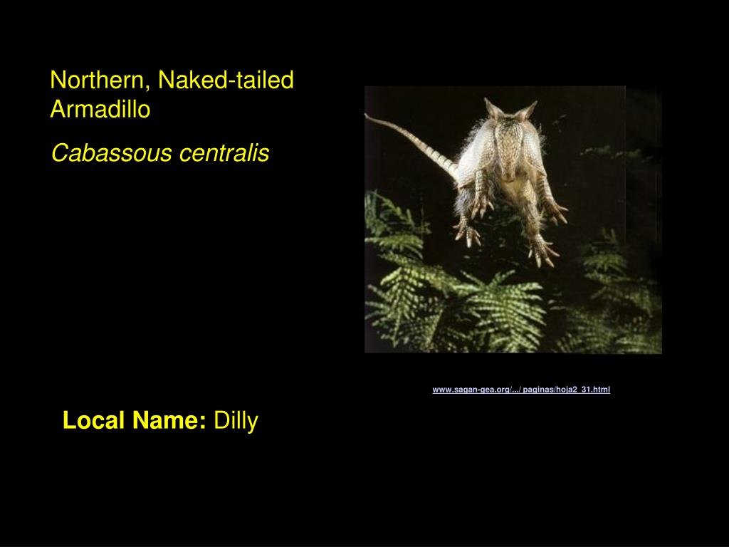 Northern, Naked-tailed Armadillo