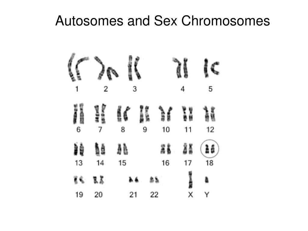 Autosomes and Sex Chromosomes