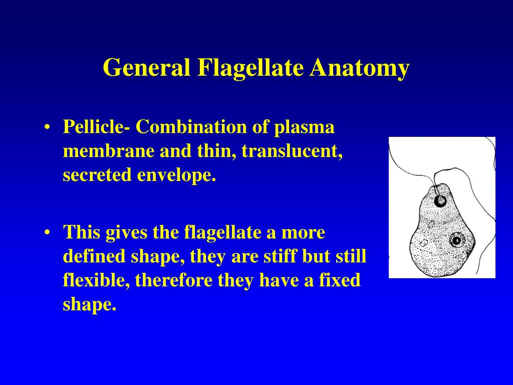 General Flagellate Anatomy