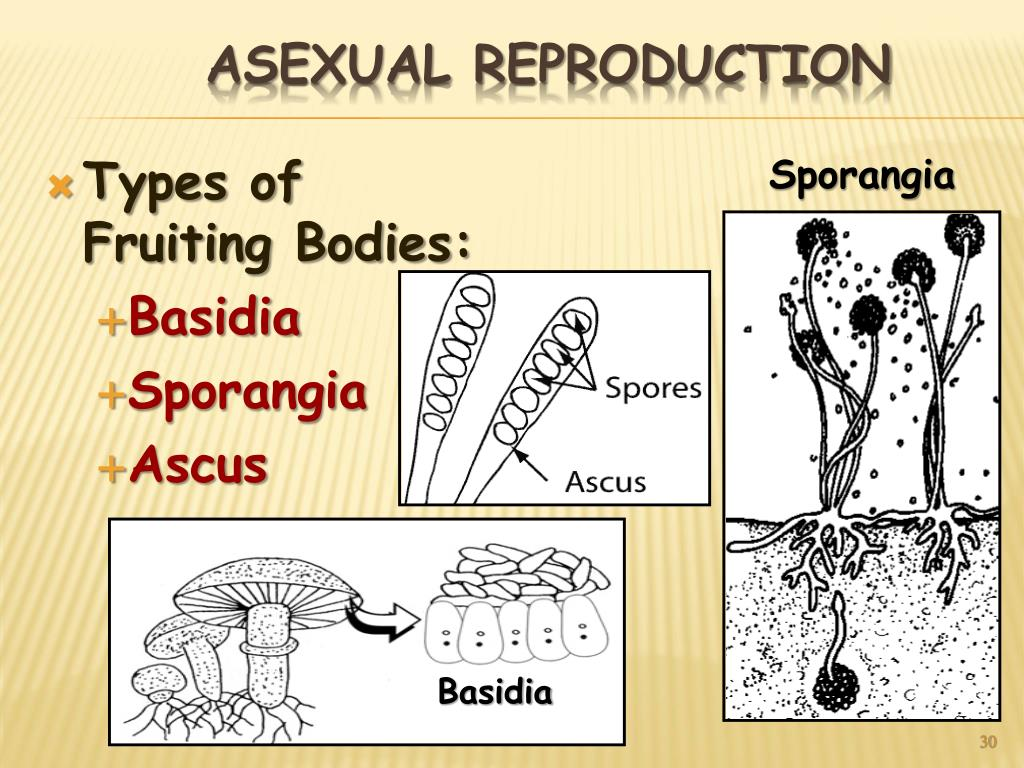 Types of Fruiting Bodies: