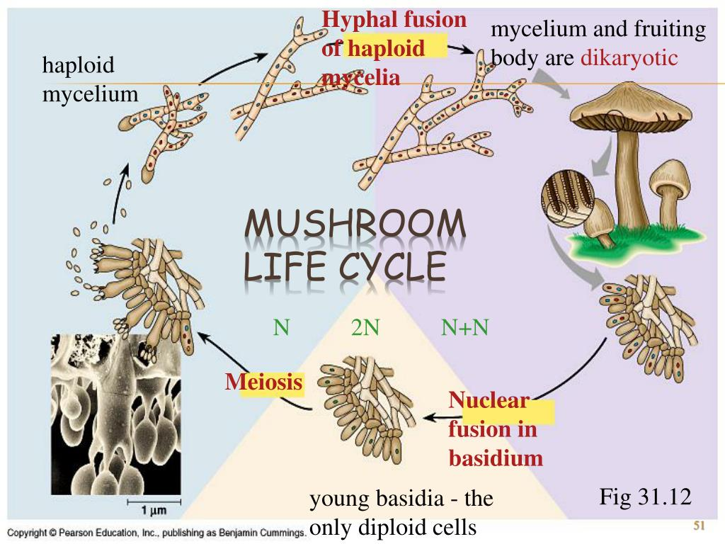 Hyphal fusion of haploid mycelia