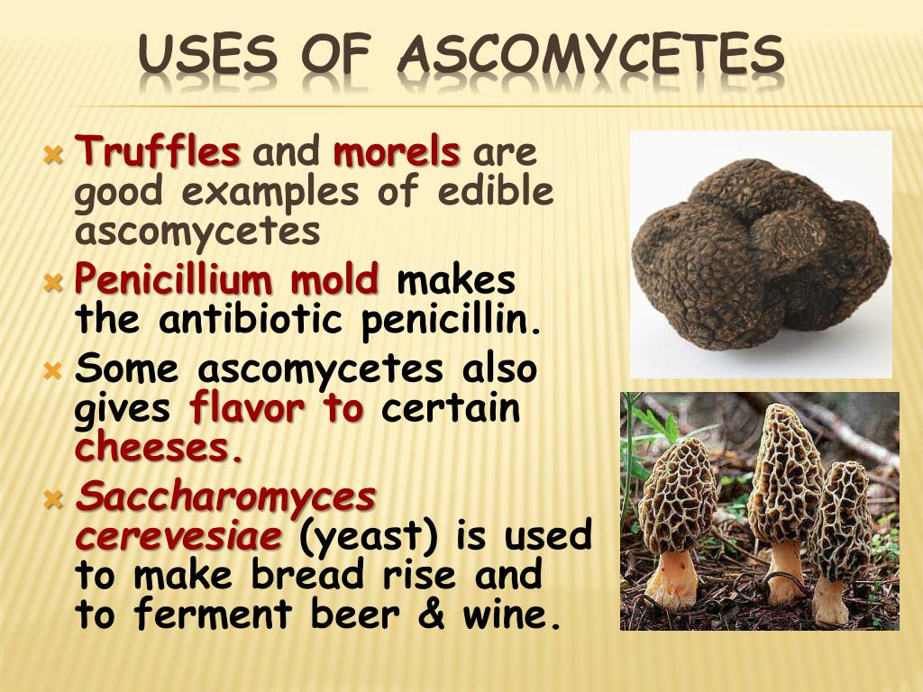 Uses of Ascomycetes