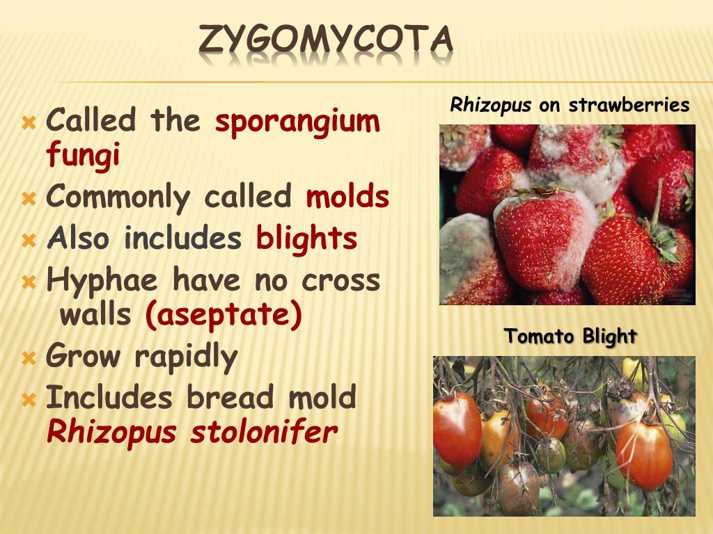 Zygomycota