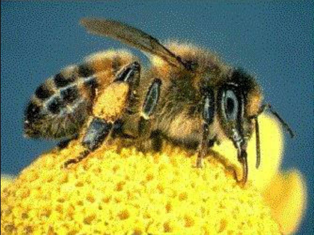 http://www.prestoncounty.com/political/honeybee.jpg