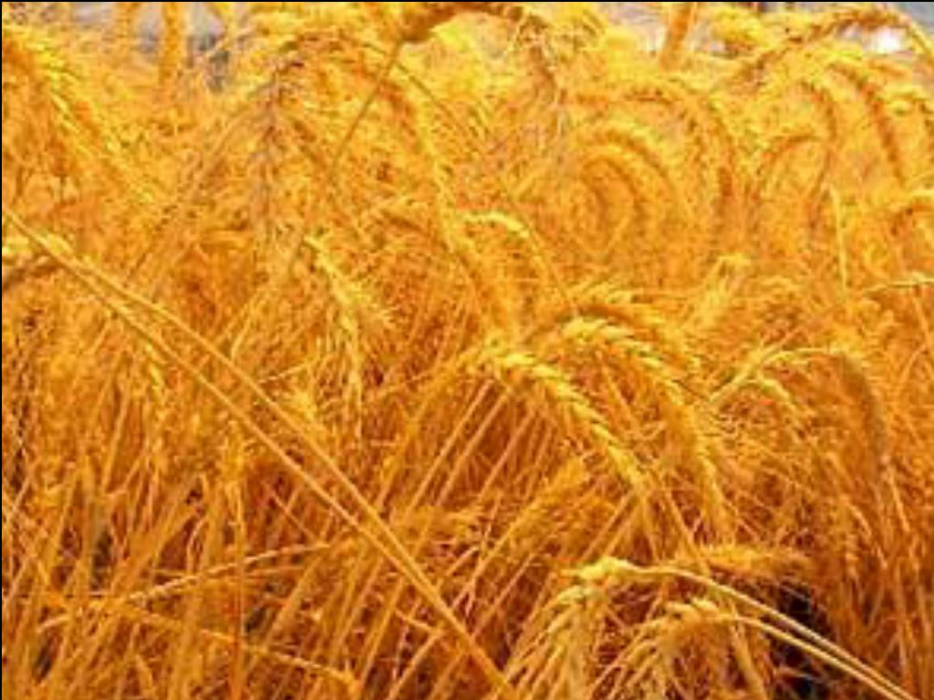 http://news.minnesota.publicradio.org/features/2003/04/24_gundersond_gmwheat/images/wheat_large.jpg