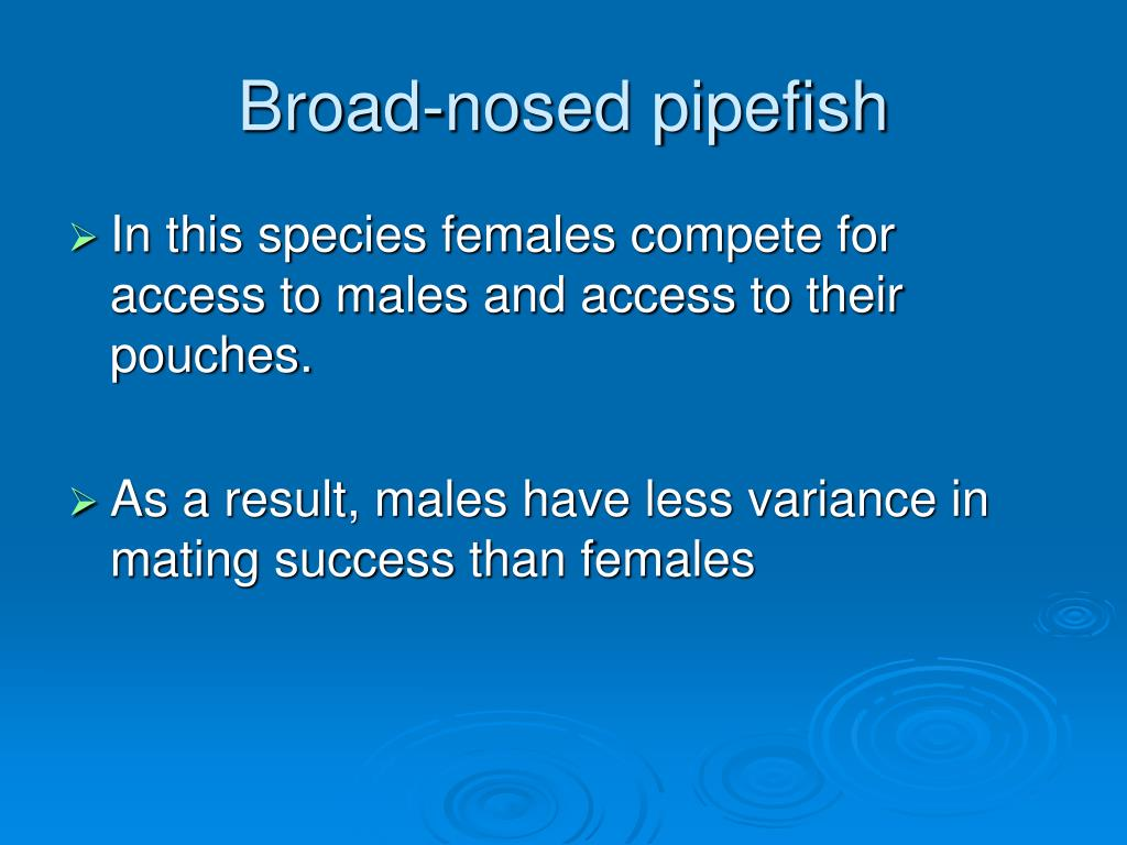 Broad-nosed pipefish