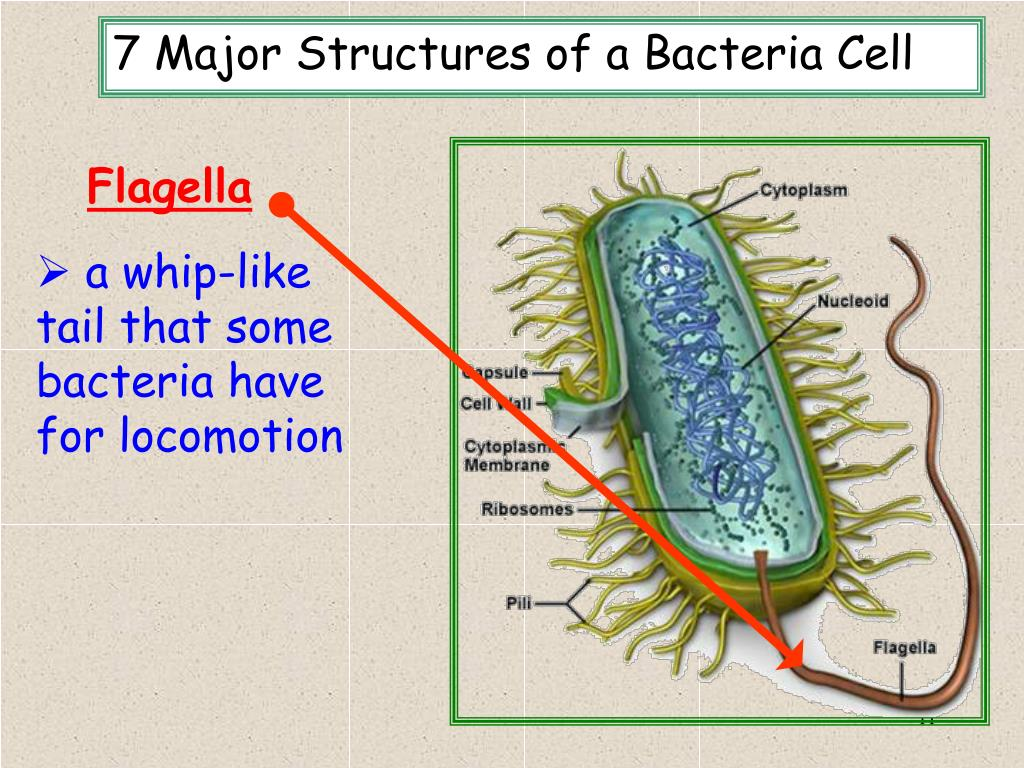 7 Major Structures of a Bacteria Cell