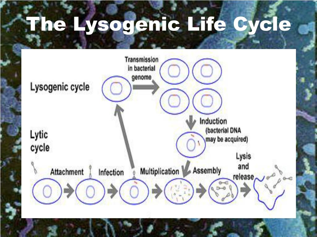 The Lysogenic Life Cycle
