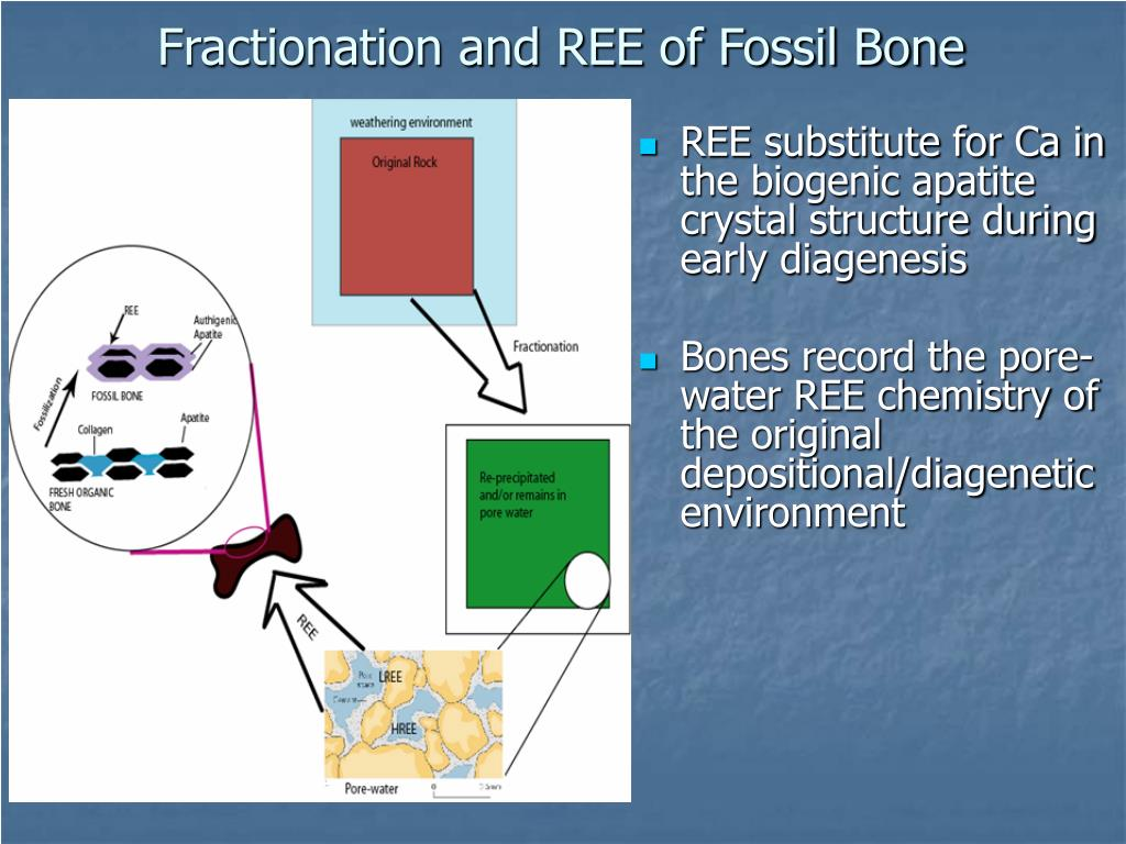 Fractionation and REE of Fossil Bone