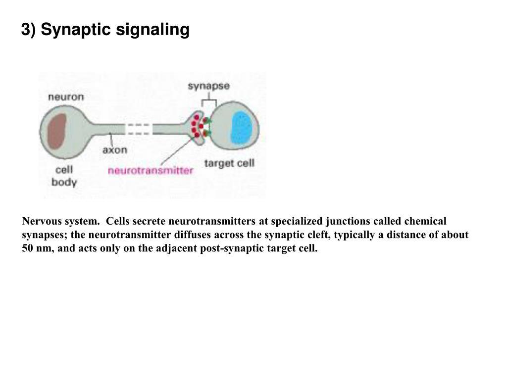 3) Synaptic signaling