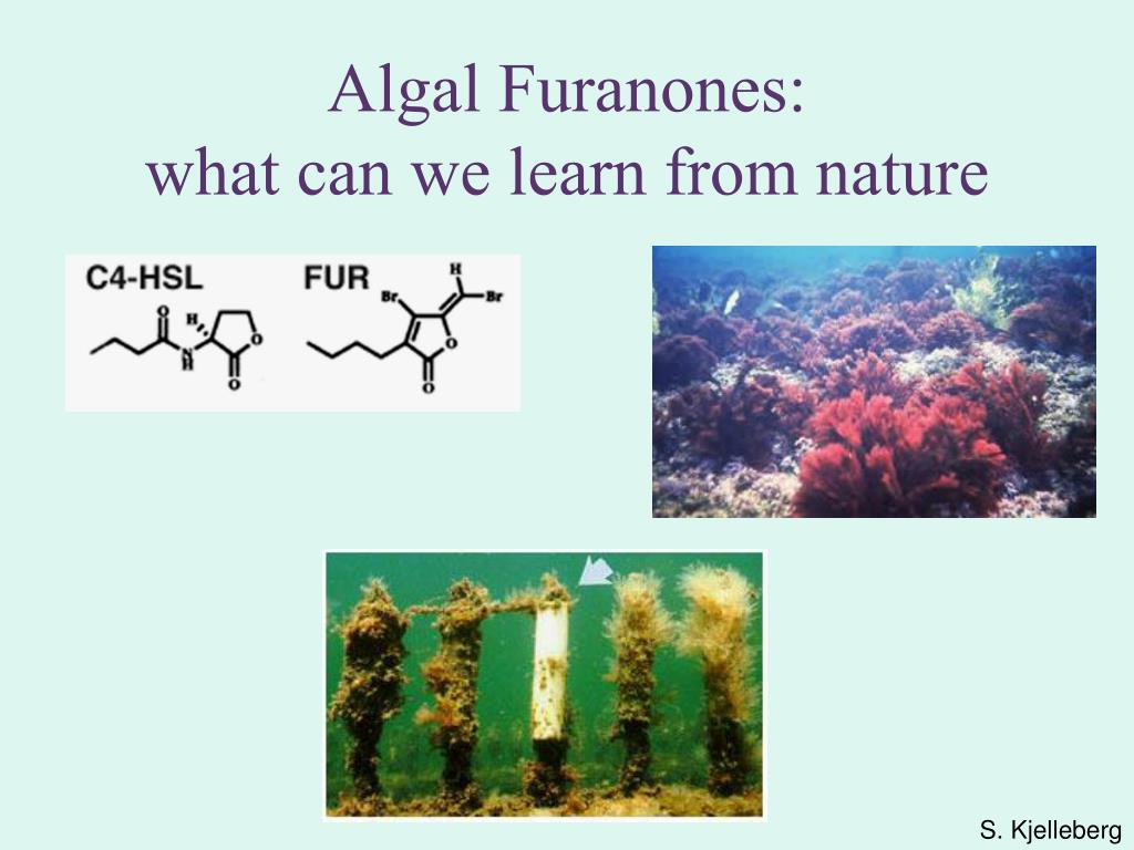 Algal Furanones: