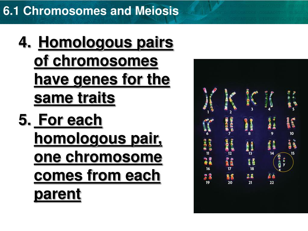 Homologous pairs of chromosomes have genes for the same traits