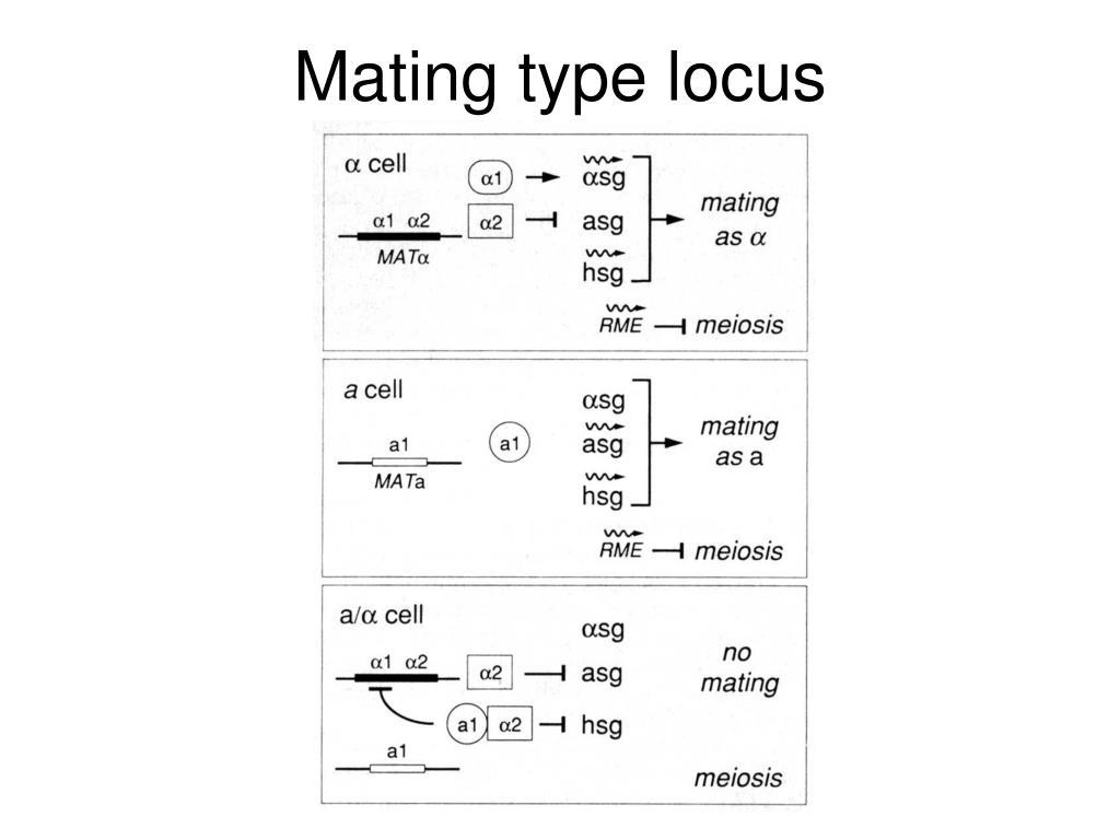 Mating type locus