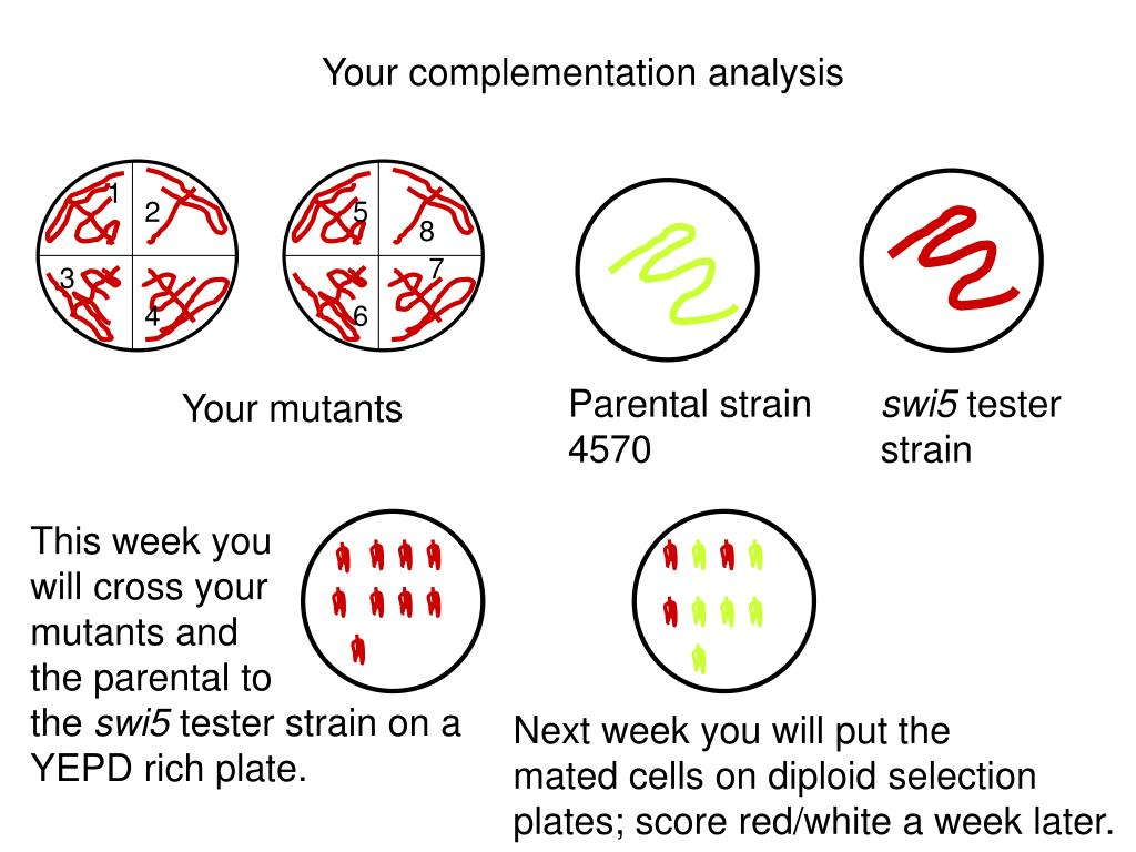 Your complementation analysis