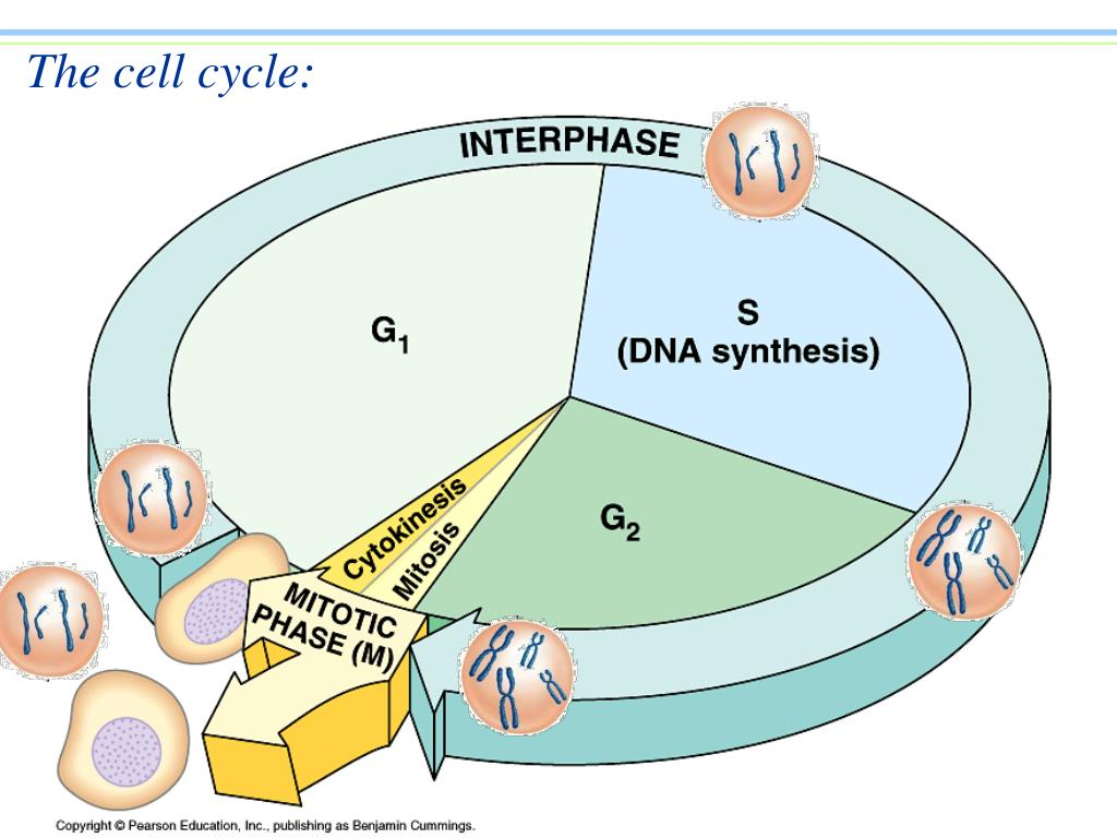 The cell cycle:
