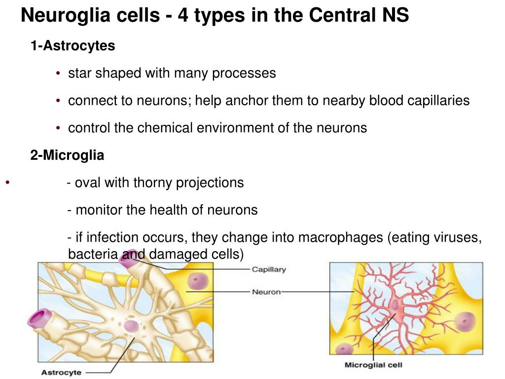 Neuroglia cells - 4 types in the Central NS