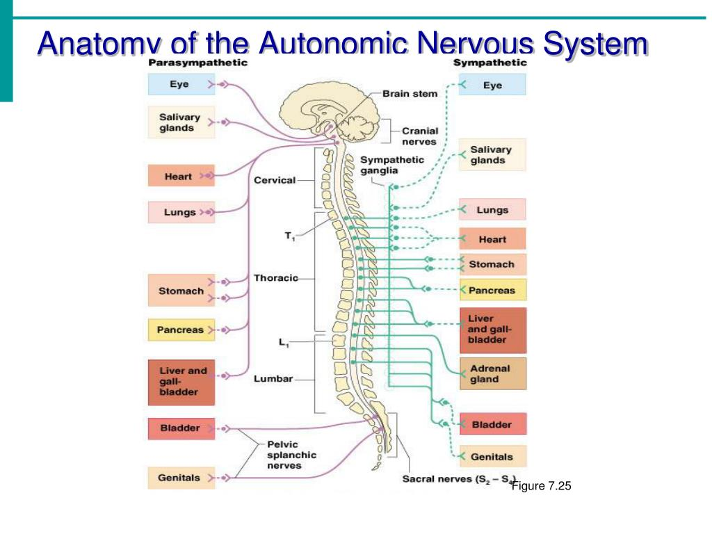 Anatomy of the Autonomic Nervous System