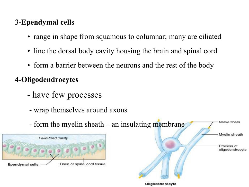 3-Ependymal cells