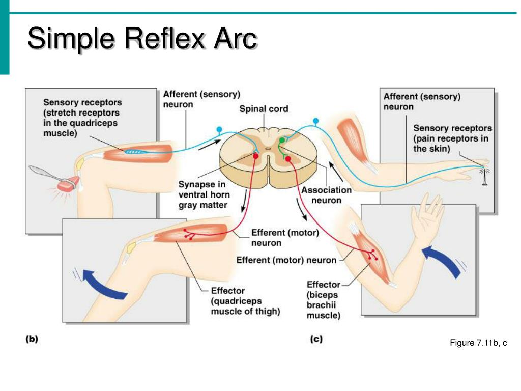 Simple Reflex Arc