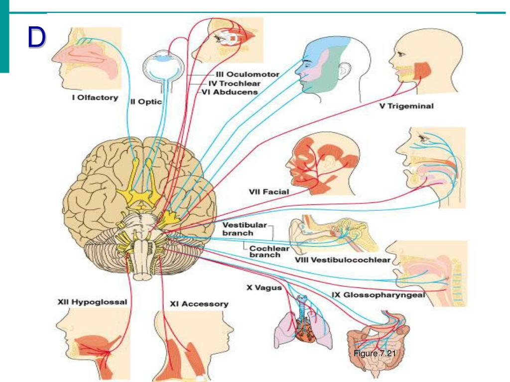 Distribution of Cranial Nerves