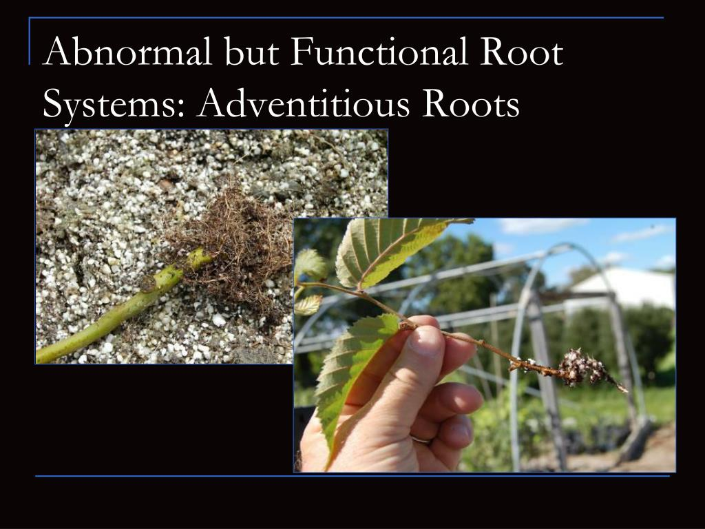 Abnormal but Functional Root Systems: Adventitious Roots