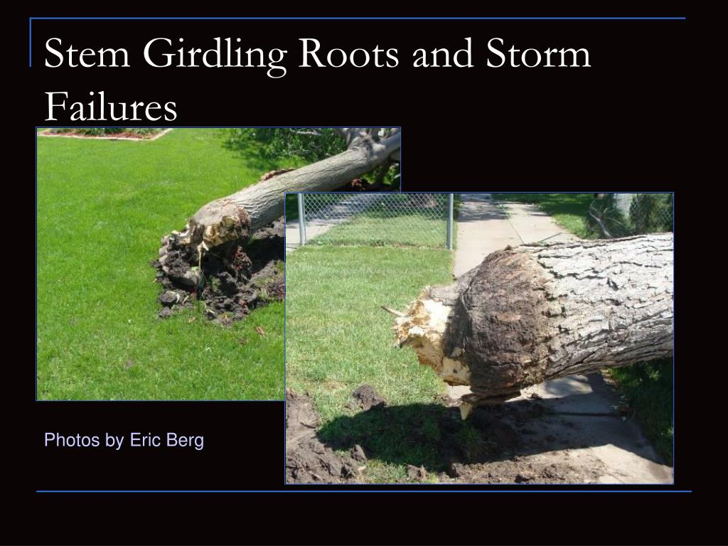 Stem Girdling Roots and Storm Failures