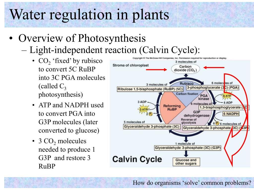Water regulation in plants