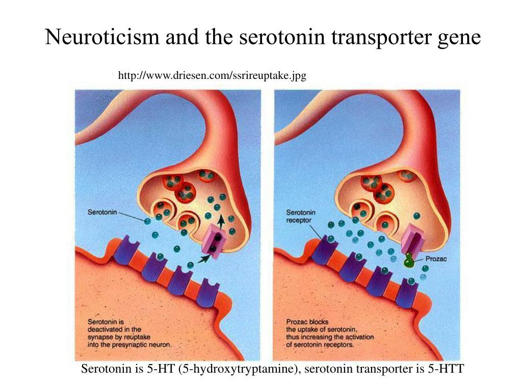 Neuroticism and the serotonin transporter gene