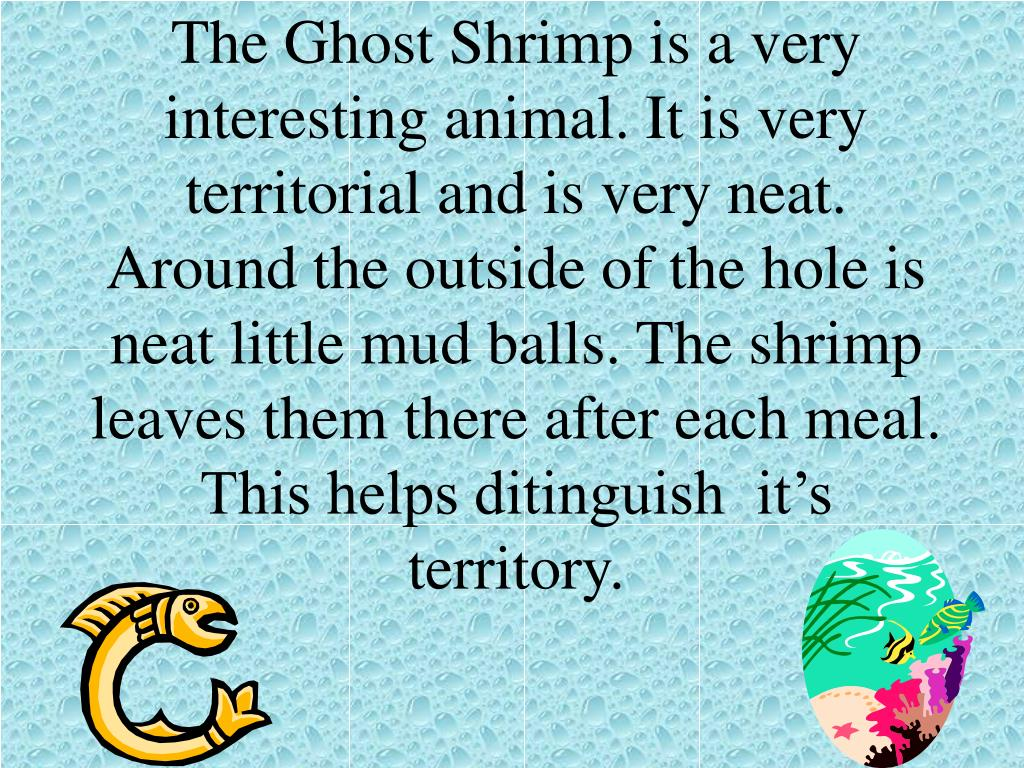 The Ghost Shrimp is a very interesting animal. It is very territorial and is very neat. Around the outside of the hole is neat little mud balls. The shrimp leaves them there after each meal. This helps ditinguish  it's territory.