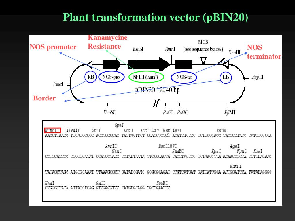 Plant transformation vector (pBIN20)