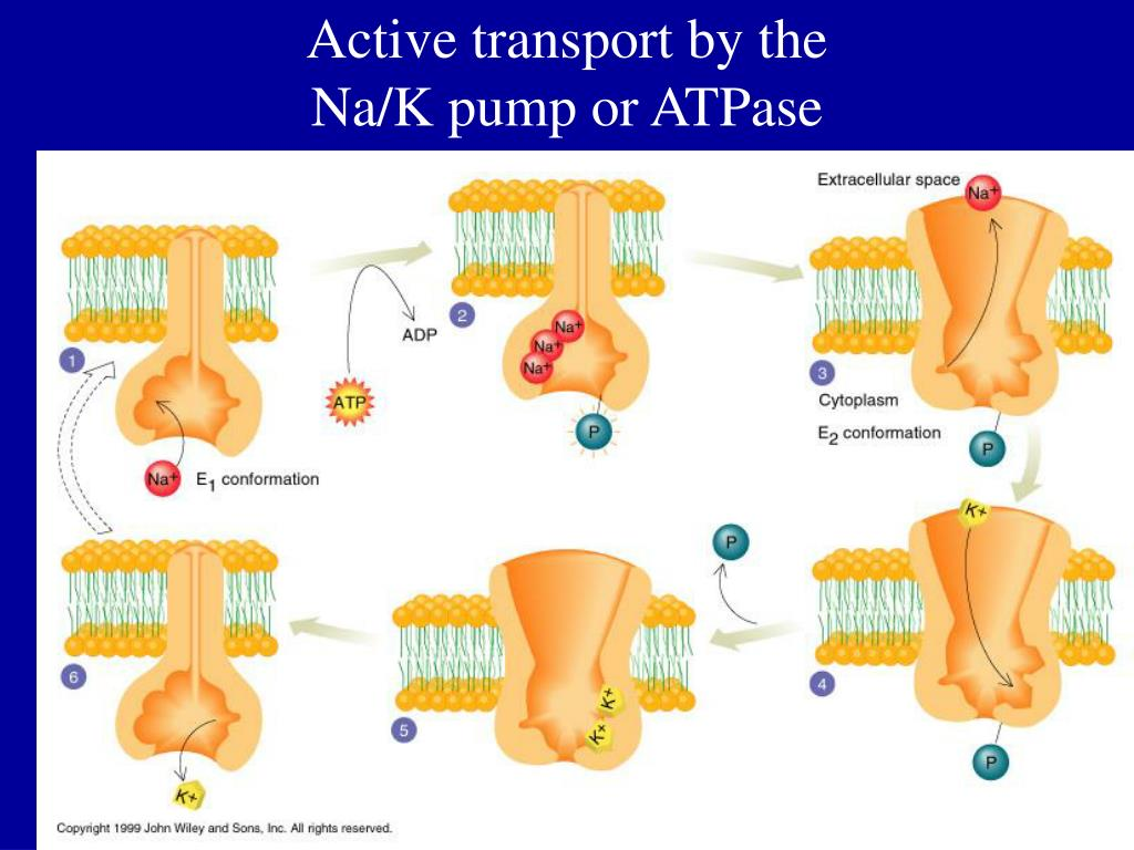 Active transport by the