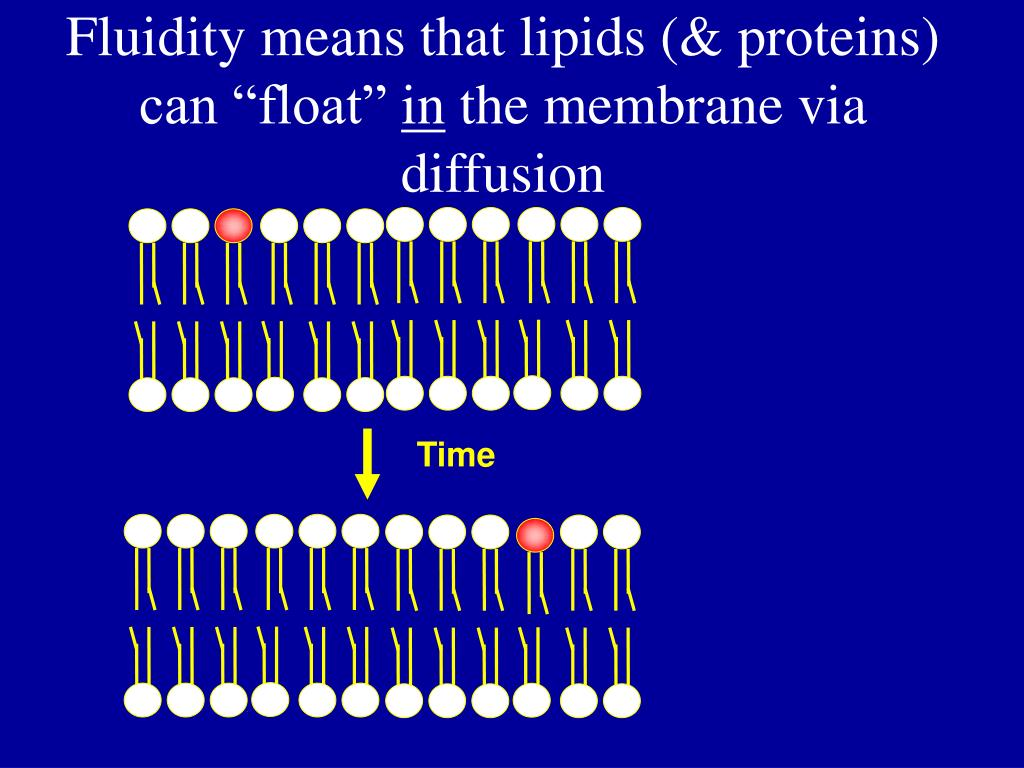 """Fluidity means that lipids (& proteins) can """"float"""""""