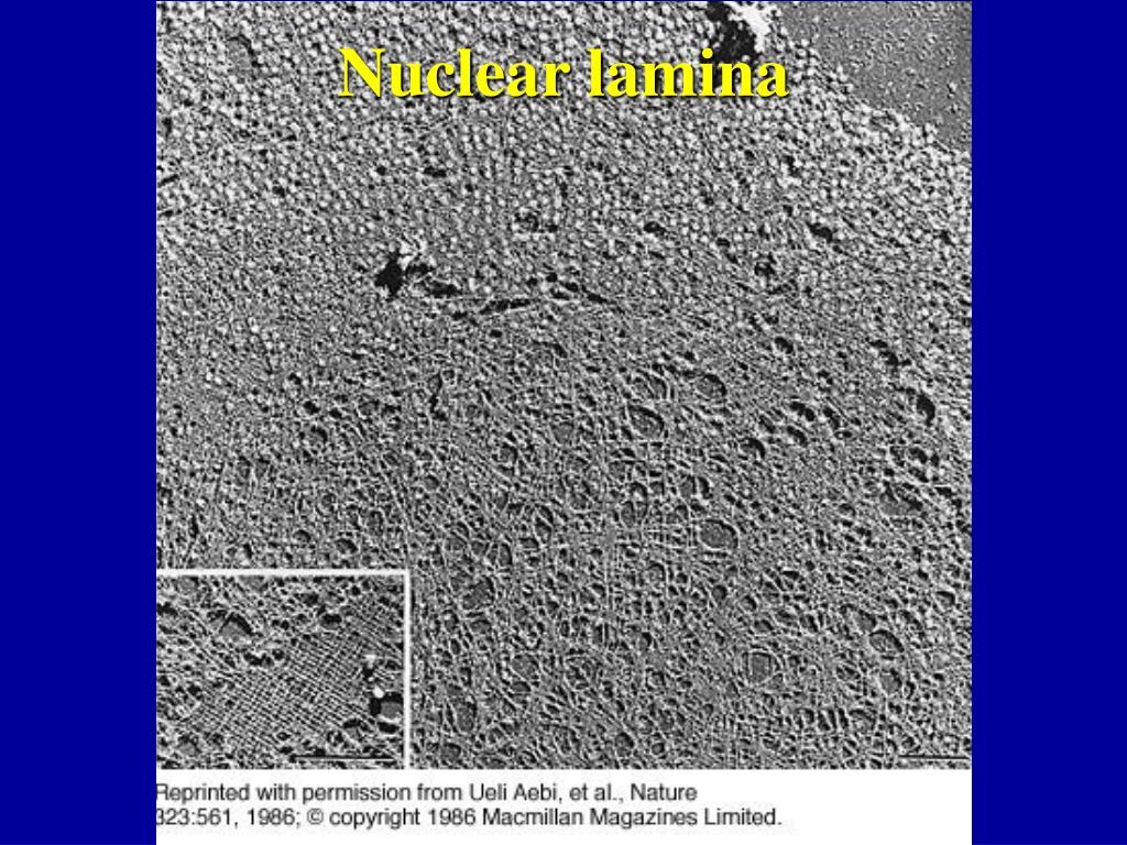 Nuclear lamina