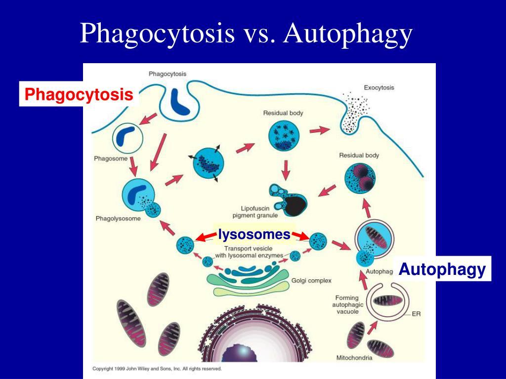 Phagocytosis vs. Autophagy