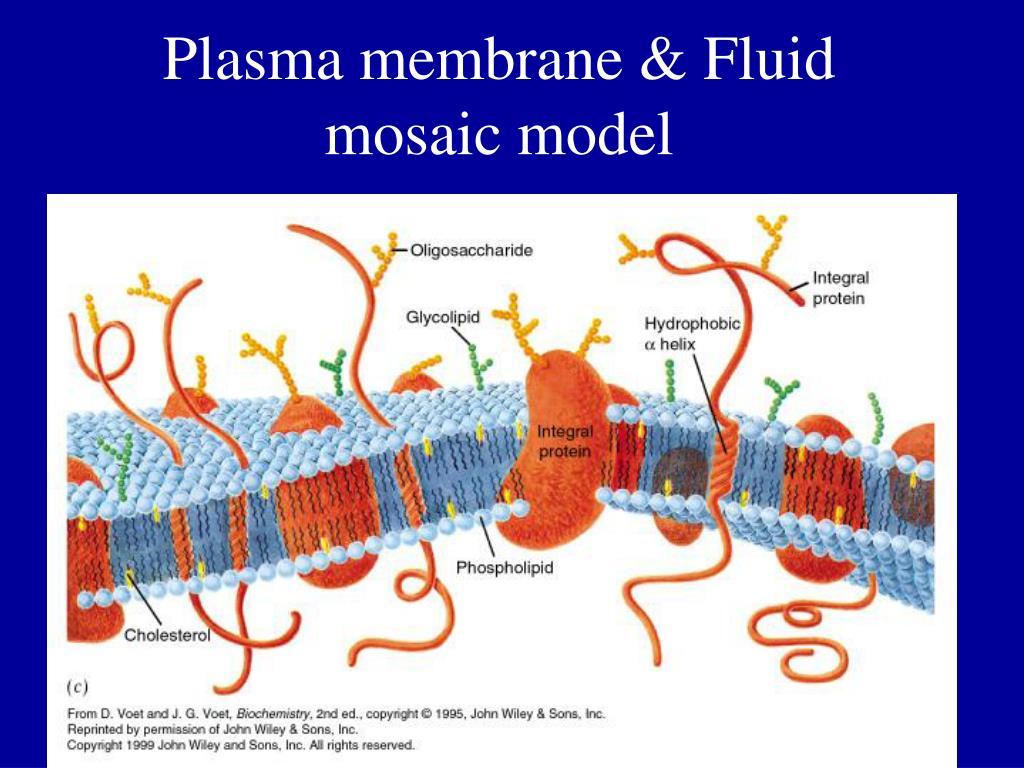 Plasma membrane & Fluid mosaic model