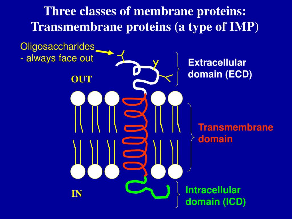 Three classes of membrane proteins: Transmembrane proteins (a type of IMP)
