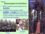 gymnosperms conifers