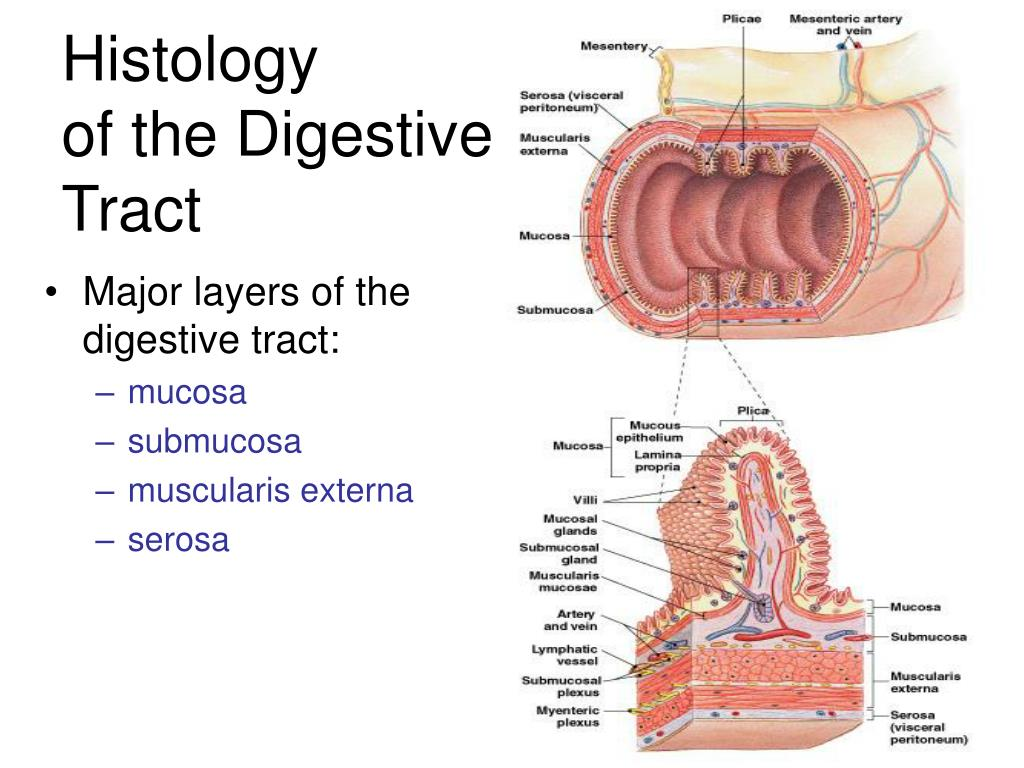 Major layers of the digestive tract: