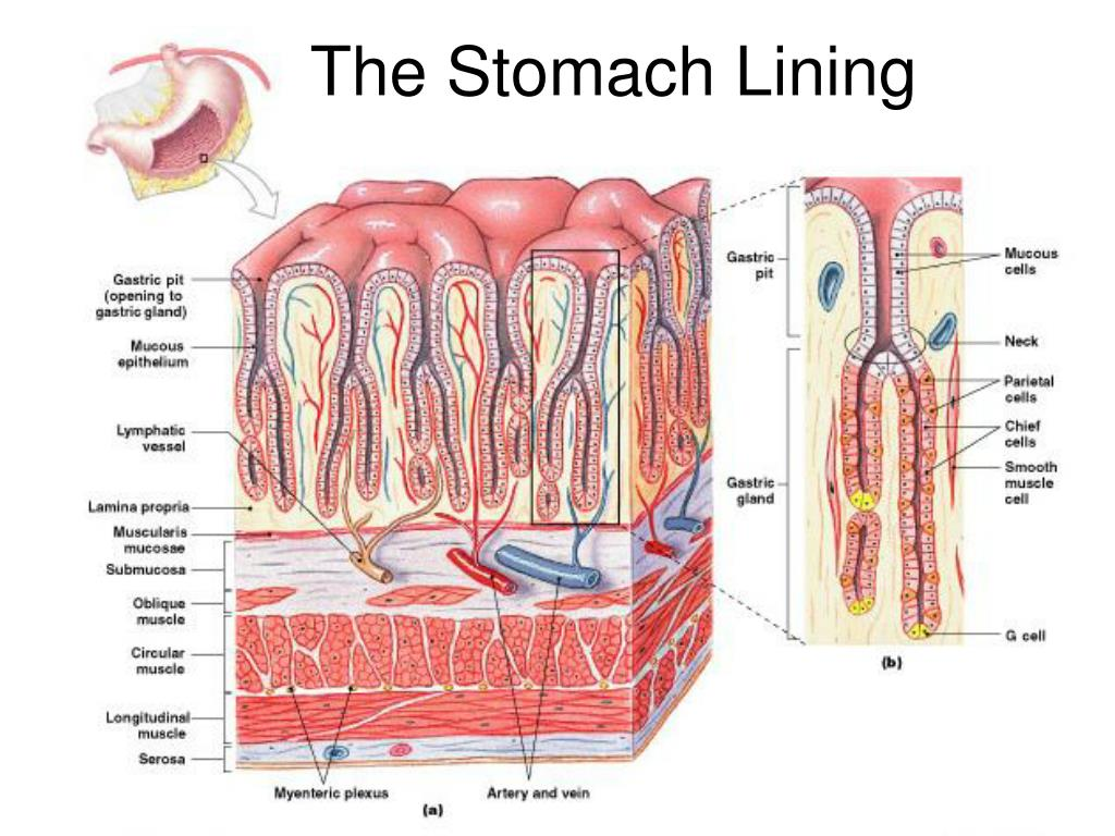 The Stomach Lining